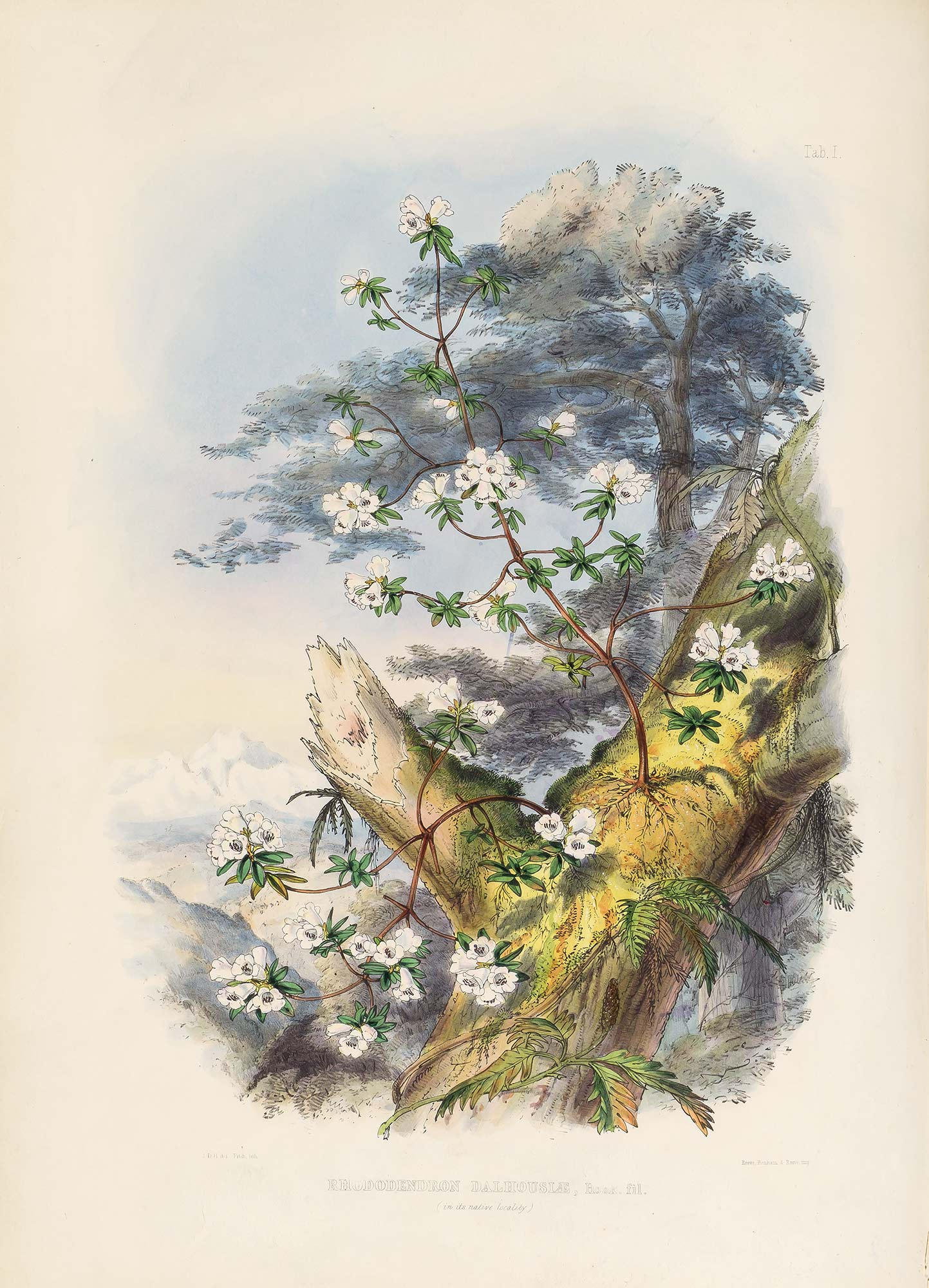 Lot image - HOOKER, JOSEPH DALTON, Sir  The Rhododendrons of Sikkim-Himalaya, being an account ... of the rhododendrons recently discovered in the mountains of Eastern Himalaya ... edited by Sir W. J. Hooker.