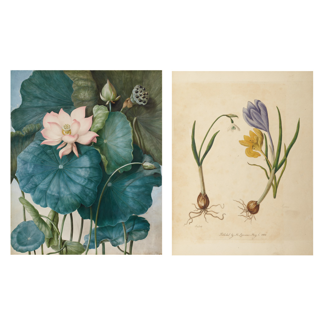 Lot image - [COLOR PLATE]  LAWRANCE, MARY. Nelumbium [nucifera]--Water Lilly