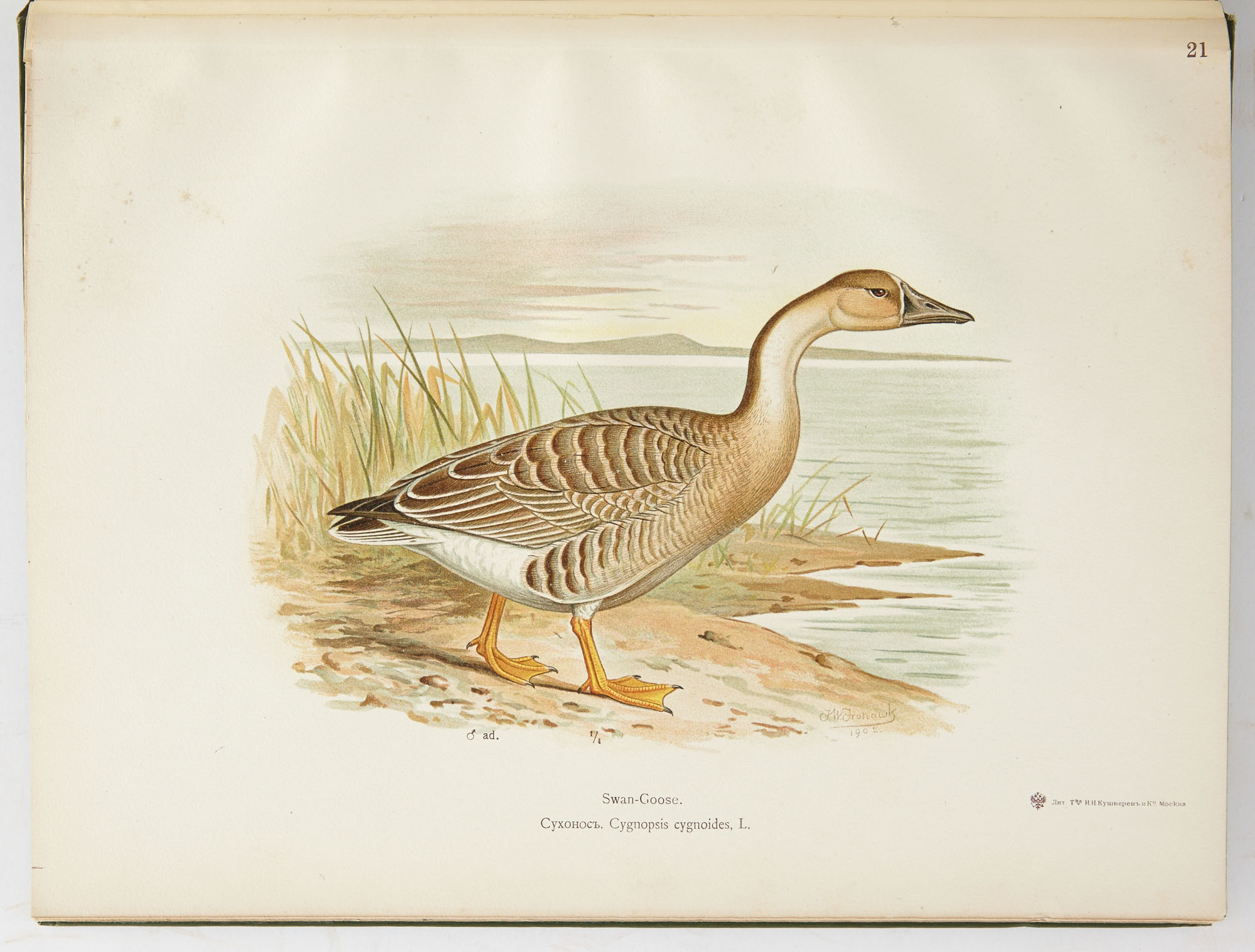 Lot image - ALPHERAKY, SERGIUS  The Geese of Europe and Asia. Being the description of most of the Old World species.