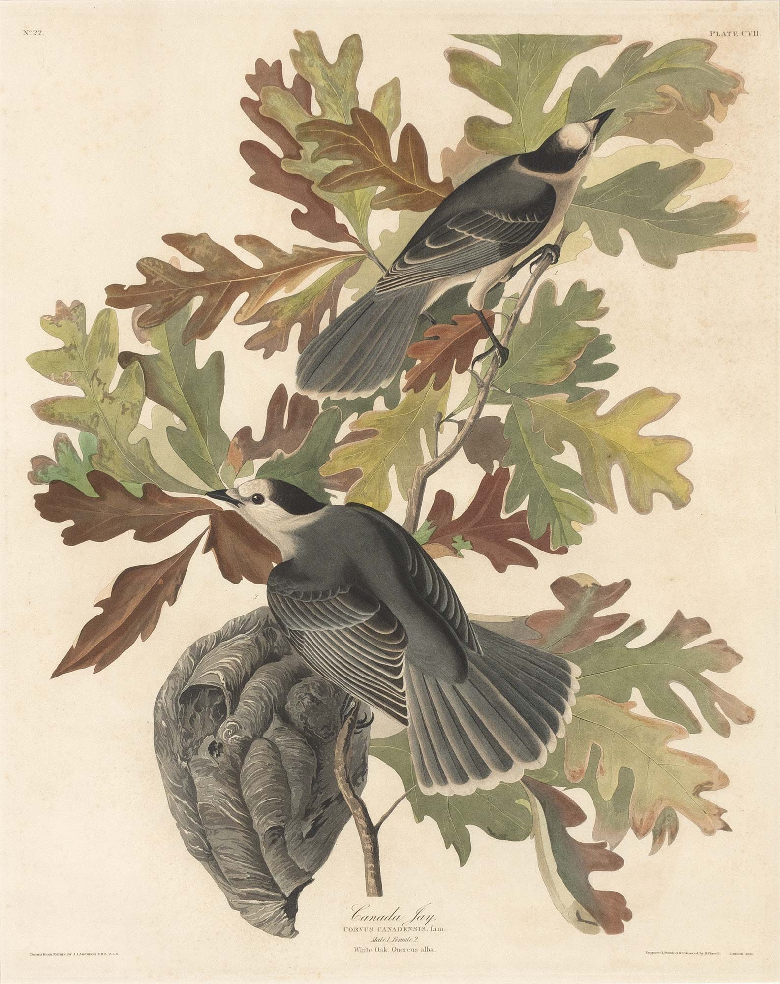 Lot image - After John Jay Audubon