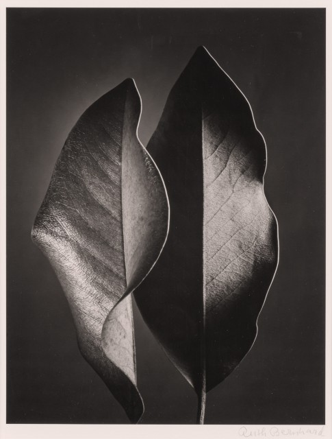 BERNHARD, RUTH (1905-2006)  Two Leaves, [Hollywood],