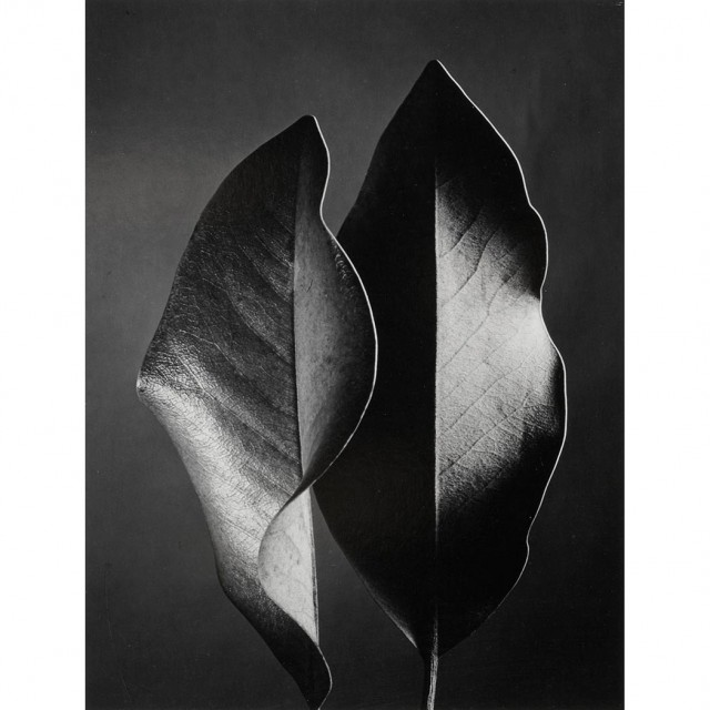BERNHARD, RUTH (1905-2006)  Two leaves, Hollywood [1952]