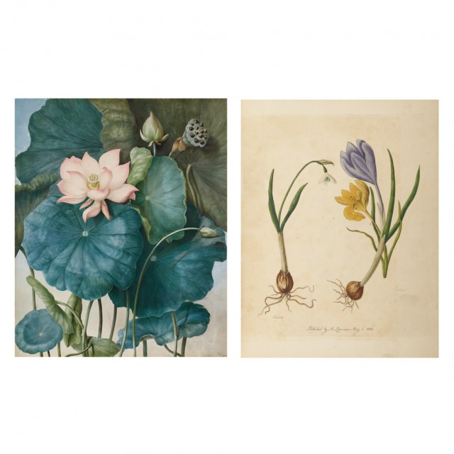 [COLOR PLATE]  LAWRANCE, MARY. Nelumbium [nucifera]--Water Lilly