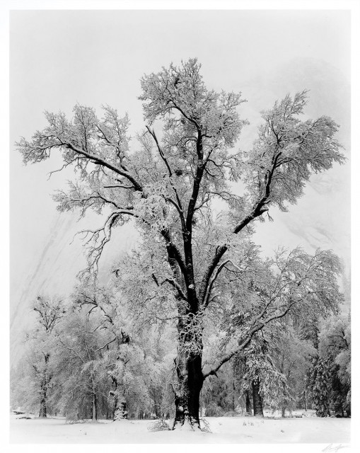 ADAMS, ANSEL (1902-1984)  Oak Tree, Snowstorm, Yosemite National Park, California, 1948.