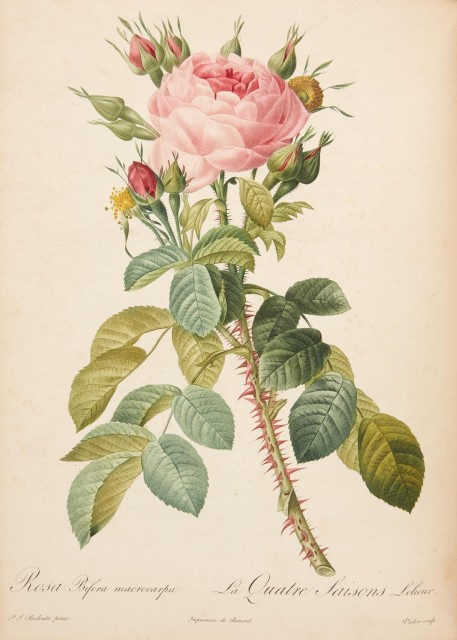 REDOUTÉ, PIERRE-JOSEPH and THORY, CHARLES ANTOINE  Les Roses.