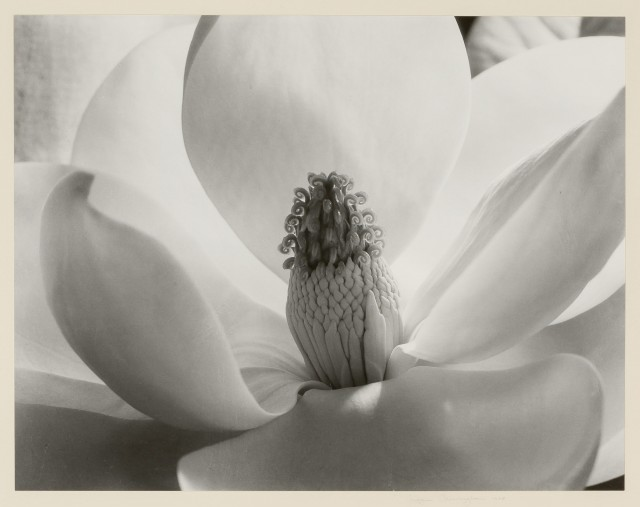 Imogen Cunningham, Magnolia Blossom, 1925, Gelatin silver print. Lot 86. Auction June 14.